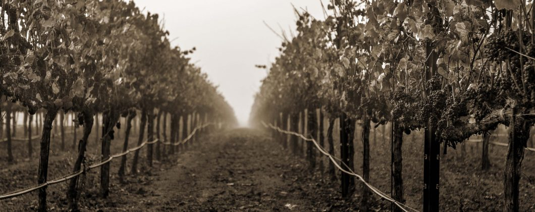 Dairyman vineyard shot at sunrise - sepia photo